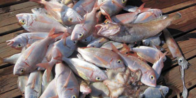 Pesca serrans